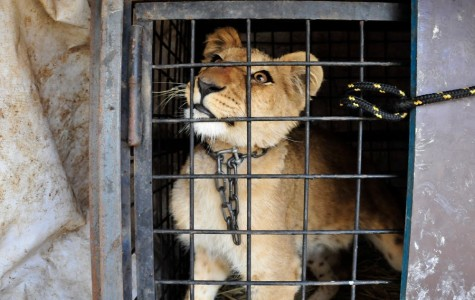 Canned Hunting: Bred for Slaughter