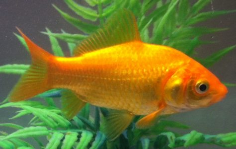 Why Your Goldfish Keeps Dying